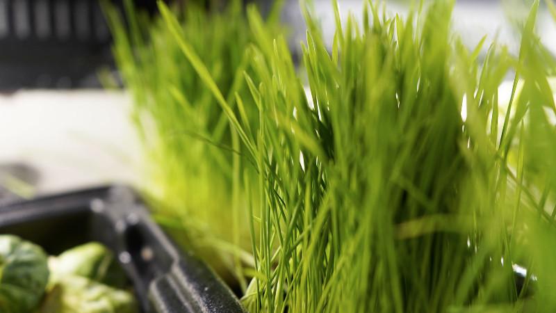 wheatgrass-wider-shot